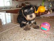 Adorable CKC Purebred Male Yorkie Puppy Looking for New Home ~